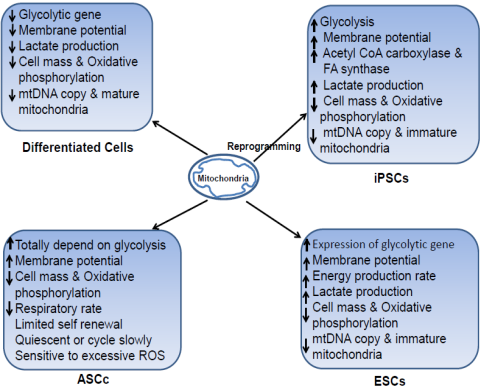 Mitochondria: A Key Player in Stem Cell Fate :: Science Publishing ...