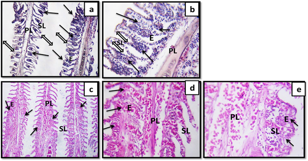 Histopathological Studies On Trichodinosis Of Farmed Oreochromis Niloticus Science Publishing Group