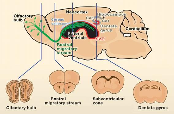 Neurogenesis In The Adult Brain 18