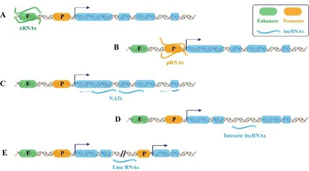 lncrnas  the ideal composer of the melody for life